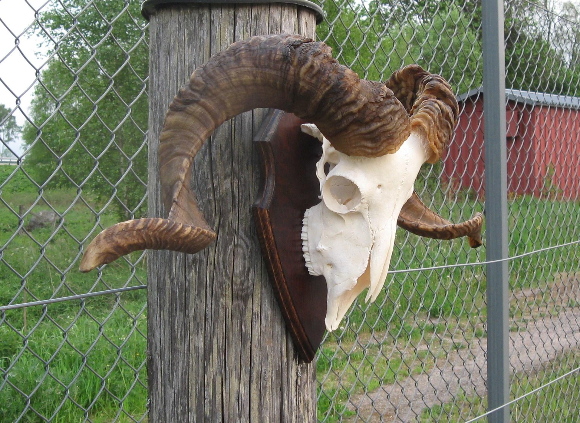 Långhornad antilop